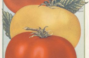 Color illustration of three tomatoes in a variety of colors.